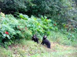 The mama bear is just to the left of these two cubs, getting some berries.